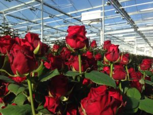 Купить розы ред наоми в Москве