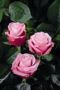 Купить розы «Дип Вотер» в Москве дешево со склада