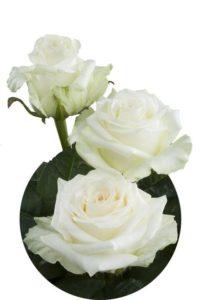 Купить розы доломити в Москва