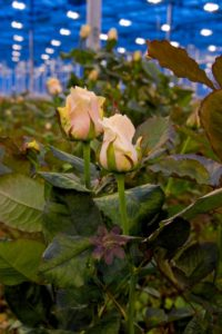 Купить розы Талея | Talea