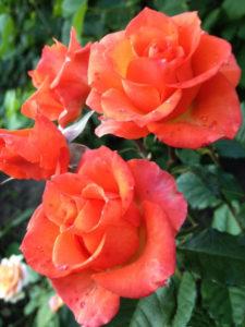 Купить розы Вау в Москве