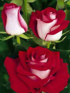 Купить розы люксор от производителя Мокшанские розы