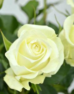 Купить розы вайт наоми  в Москве
