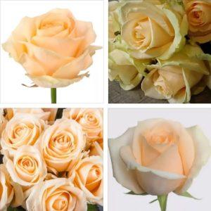 Купить розы аваланж пич оптом от производителя
