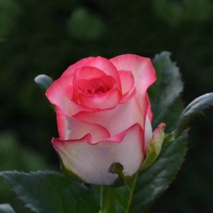 роза джумилия jumilia