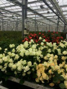 Купить свежие розы оптом