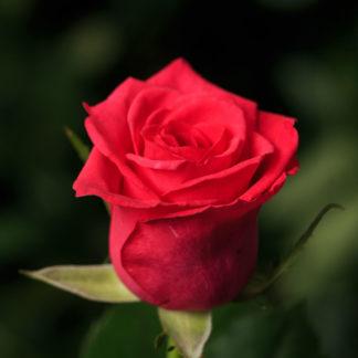 Роза лейла