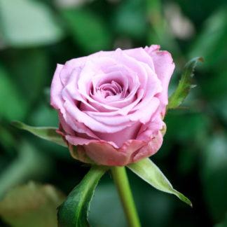 Роза маритим