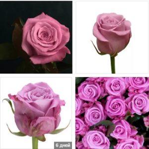 Роза маритим купить в Москве