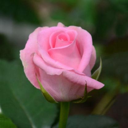 роза ривайвл
