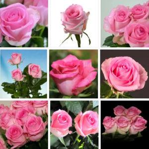 Роза ривайвл купить в Москве