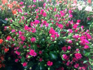 Спрей Лавли Лидия - кустовые розы купить оптом в Москве