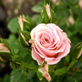 Розы спрей лидия