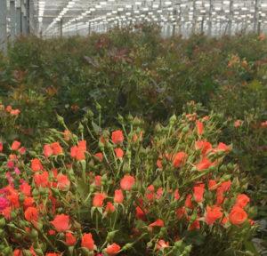 Кустовая роза фиеста баблс купить в Москве оптом