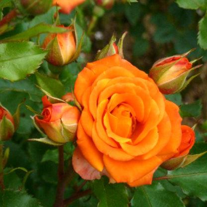 Кустовые розы спрей фиеста баблс