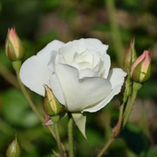 Роза спрей вайт баблс