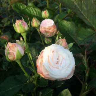Роза леди (мисс, мадам) бомбастик