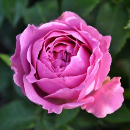 Роза мисти баблс - фото и описание